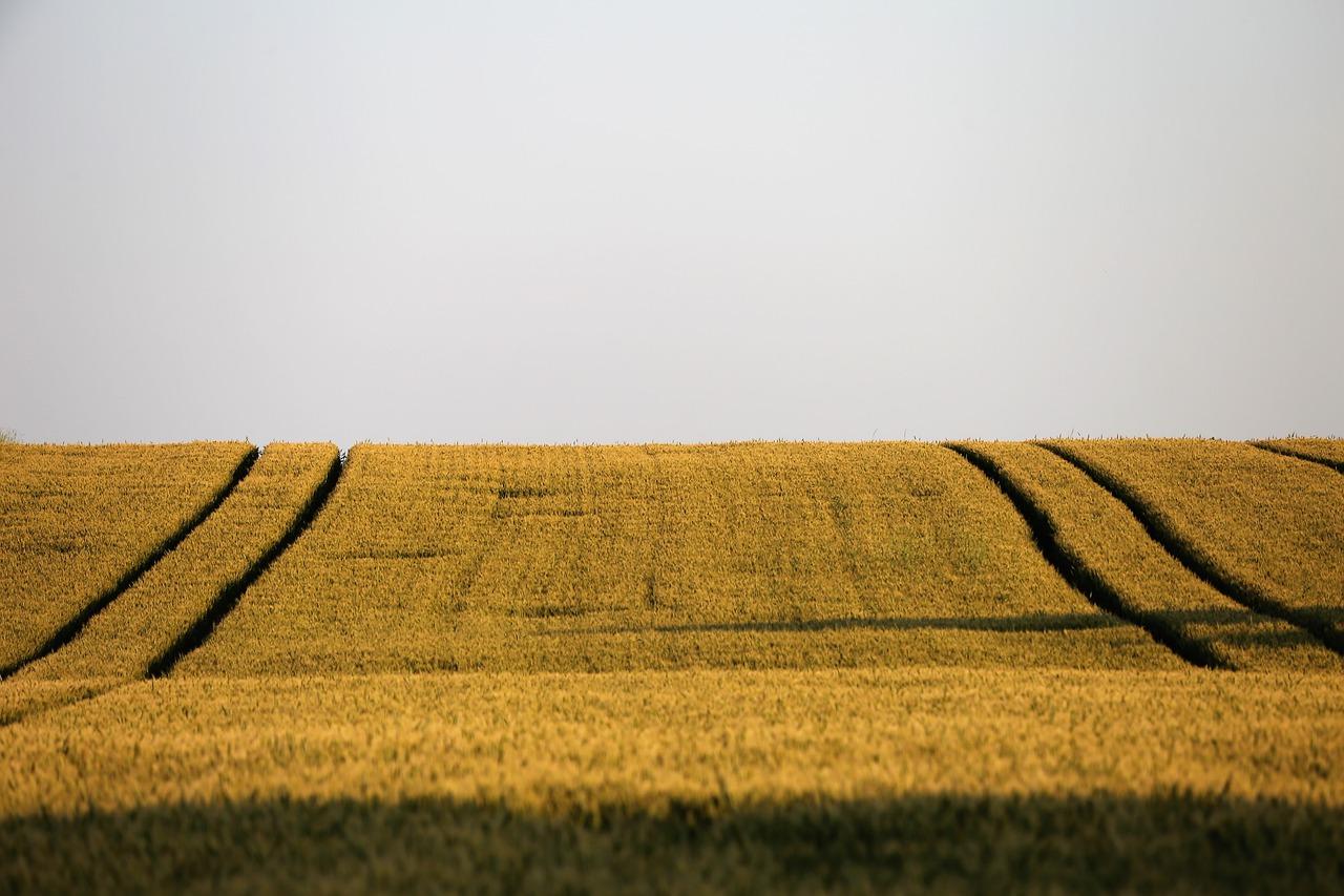 EEUU confirma una subida del 5% de la cosecha mundial de trigo