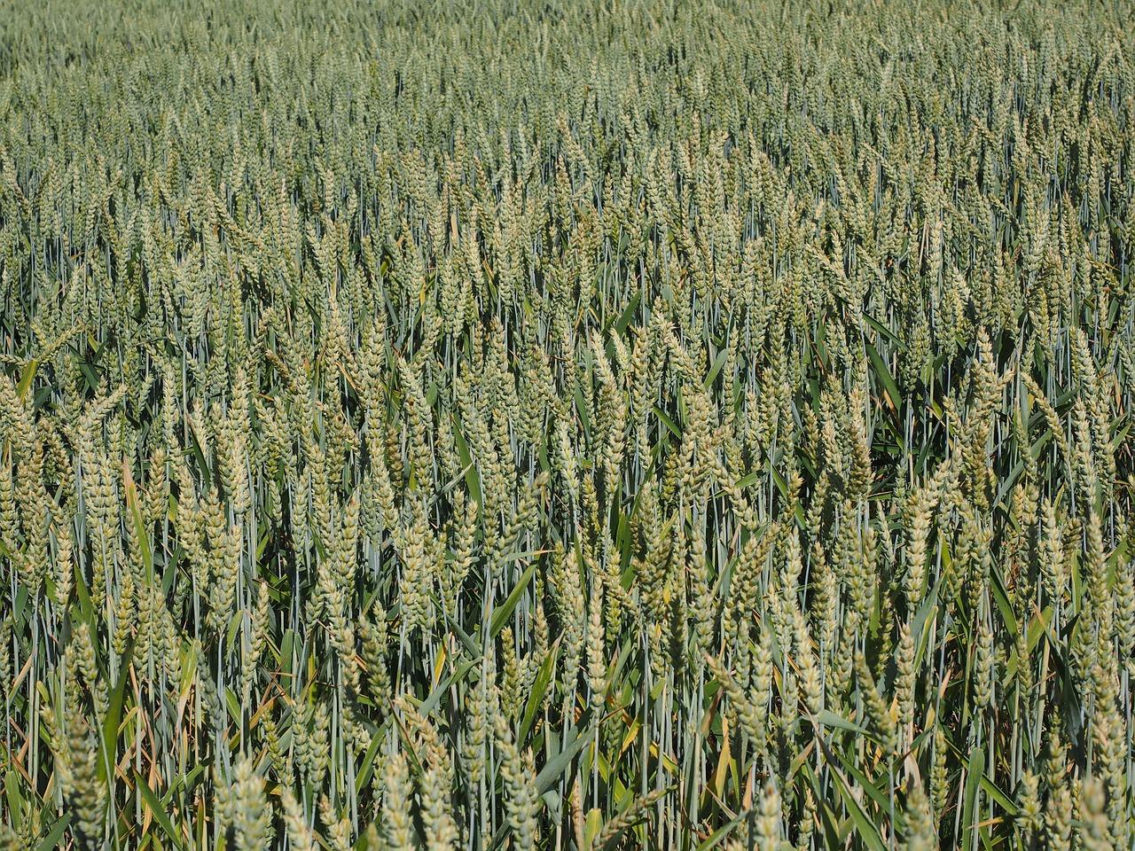 La producción de cereal alcanzará los 25,8 millones de toneladas