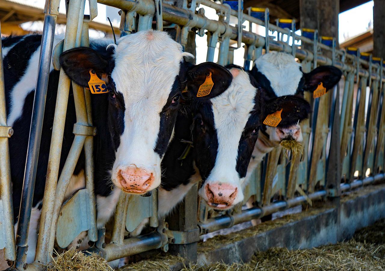 Cooperativas asegura que el vacuno de carne atraviesa una situación insostenible