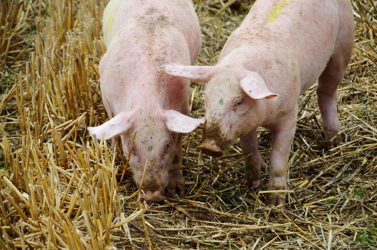La facturación por exportaciones de porcino español sube un 21,4% en 2020